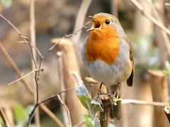 Robin (Deanne Wildsmith) Tags: earthnaturelife staffordshire wolseleynaturecentre robin