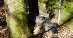 20171121 (19) Alligator Busch Wildlife Sanctuary Jupiter PBC FL USA (FRABJOUS DAZE - PHOTO BLOG) Tags: buschwildlifesanctuary busch wildlife sanctuary jupiter pbc palmbeachcounty florida fl fla usa yhdysvallat luontokuva luontokuvaus naturephoto naturephotography alligator alligaattori