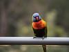 lori (grannie annie taggs) Tags: lorikeet rainbow coloured nature
