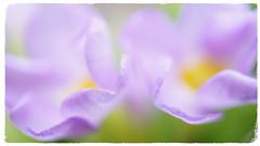 Purple dream (passionpapillon) Tags: macro fleur flower flou pastel dream rêve violet purple primevère passionpapillon 2018