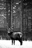 PIO_2082M-01 (MILESI FEDERICO) Tags: milesi milesifederico montagna montagne piemonte piedmont italia italy iamnikon alpi alpicozie visitpiedmont valsusa valdisusa valliolimpiche valledisusa nikon nikond7100 nital d7100 dettagli details 2018 inverno winter snow neve nevicata neige bianconero bw biancoenero blackandwhite blackwhite monocromatico natura nature nat wild wildlife cervo bosco mammifero