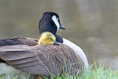 Dreams Of Spring (marylee.agnew) Tags: dreaming sleeping spring birds baby gosling mother nature wildlife outdoor young goose cute love feathers