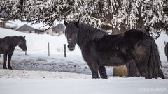 Baby it's cold outside (Fabrizio Malisan Photography @fabulouSport) Tags: schwarzpferde chevalnoir blackhorse ranch invierno inverno hiver winter nieve neve neige schnee snow animali animal pferde caballo cavallo cheval horses horse