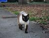 my new friend Wilson (rootcrop54) Tags: siamese male cat wilson neighbor friendly neko macska kedi 猫 kočka kissa γάτα köttur kucing gatto 고양이 kaķis katė katt katze katzen kot кошка mačka gatos maček kitteh chat ネコ