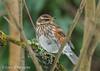 Redwing resting (Ponty Birder) Tags: g b wheeler garywheeler pontybirder wales forestfarm birds snow