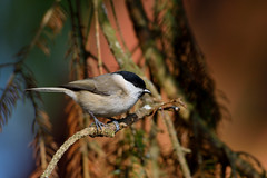 Marsh tit (Hishyar H.) Tags: branch marsh tit nikor nikon 200500 d3300 deutschland bamberg nature wildlife songbird animal vögel sumpfmeise