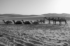 All in line ! (Nicolas Bussieres (Lost Geckos)) Tags: desert sahara morocco camel trek