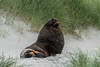 New Zealand Sea Lion - Phocarctos hookeri - Dunedin, New Zealand (arnaud.badiane) Tags: new zealand sea lion phocarctos hookeri dunedin otago peninsula animal marine mammal wildlife nature seal male