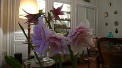 Amaryllis (jeanlouisallix) Tags: jean louis allix rouen seine maritime haute normandie france amaryllis fleur fleurs flower flowers plante plantes