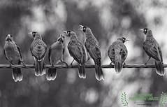 being noisy miners (honourable mention, monochrome awards 2017) (Fat Burns ☮ (on/off)) Tags: noisyminer manorinamelanocephala bird australianbird fauna australianfauna feathers minerbird mickybird nikond750 sigma150600mmf563dgoshsmsports sigmatc140114xteleconverternik