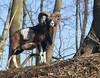 Mufflon,Widder... (peterphot) Tags: wildtier wildanimals wildlife mufflon muffelwidder natur sachsen januar2018