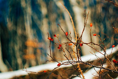 so comes snow after fire(works) III (culuthilwen) Tags: sonyalpha230 vintagelens sonysti helios44m helios44m6 58mm m42 f2 bokeh berries snow dof nature winter vscofilm00 red white blurry