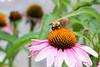 july 2016 lake katherine (timp37) Tags: palos illinois july 2016 summer lake katherine bee flower bumblebee bumble