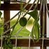 Echinocystis lobata, Frucht (blasjaz) Tags: blasjaz botanik frucht kapselfrucht echinocystislobata stachelgurke cucurbitaceae pflanze plant