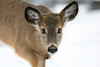 5L1A4421.jpg (Jenna.Lynn.Photography) Tags: animal pet deer buck buckfawn fawn cute fur furry ears nose eyes zoom zoomlens wild wildlife wildlifephotographer wildlifephotography nature closeup mammal snow winter january dof looking watching country today canon 5dmarkiii eos pose white portrait outside