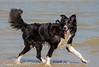 Sterre 13 (lizzaminelli) Tags: bordercollie dog dogs animal pet nikond3200 nikon beach waves sea outdoor kijkduin