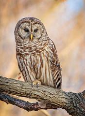 Perched... (DTT67) Tags: barredowl bird wildlife nature perched portrait canon 5d4 500mm 2xtciii barred owl
