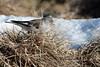 Fringuello alpino (montifringilla nivalis) (Paolo Bertini) Tags: fringuello alpino montifringilla nivalis snowfinch bocca selva lessinia verona birdwatching birding bird snow wintering