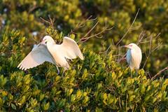 Pair of Morph Reddish Egrets (dbadair) Tags: outdoor seaside shore sea sky water nature wildlife 7dm2 ocean canon florida bird reddish