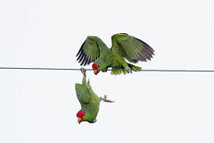 Red-crowned Parrot (Alan Gutsell) Tags: texas birds wildlife photo alan nature wildlifephoto canon southtexasbirds migration redcrowned parrot redcrownedparrot green