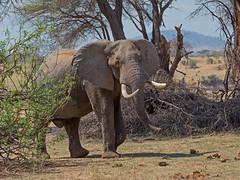 Tanzania '14_4856 (Jimmy Vangenechten 76) Tags: tanzania africa afrika wildlife safari animal dier nature ruahanationalpark greatruahariver elephant loxodontaafricana olifant