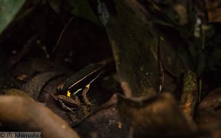 Brilliant-thighed poison arrow frog- Allobates femoralis, in situ