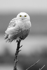 Snowy's Eyes (Joseph M. Campbell) Tags: edwinbforsythenwr nationalparks nature newjerseywildlife owls raptors snowyowl wildlife