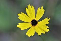 Florida's tickseed (Jan Nagalski (off for awhile)) Tags: wildflower nativespecies yellow tickseed coreopsis corkscrewswampsanctuary florida winter jannagalski jannagal