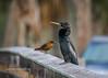 Anhinga and Friend (tclaud2002) Tags: bird anhinga wildlife perch perched nature mothernature outdoors phippspark stuart florida usa