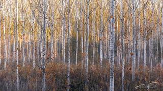 White trees...