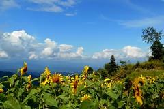 Tournesols de Moncham (Paradiperdu) Tags: fleurs ciel nuages paysages thaïlande