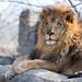 Lion Profile on Rocks