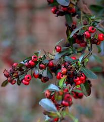 _MG_3218.CR2 (jalexartis) Tags: winter winterberries pyracantha firethorn firethornpyracantha pyracanthaberries lighting