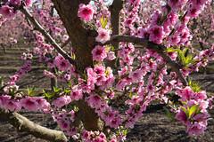 DSC_1200 (rskim119) Tags: fresno fruit tree blossom flower trail spring