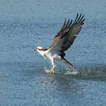 DSC_3283.jpg Osprey, San Lorenzo River, Santa Cruz thumbnail