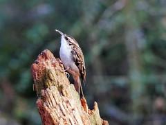 Treecreeper in Tentsmuir forest (eric robb niven) Tags: ericrobbniven scotland dundee treecreeper wildlife wildbird nature springwatch