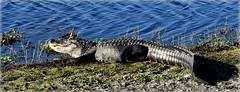 The Sunshine Of Your Smile (gatorgalpics) Tags: goodmorning gator sweetwaterwetlandspark pretty shiny coat