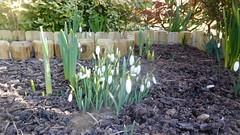 Snowdrops (claire artistandpoet Stroke Survivor) Tags: snowdrops garden flowers