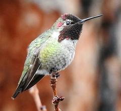 Anna's Hummingbird, Male #1 (beautyinature4me) Tags: bird avian annashummingbird male purplishhead sedona arizona december2016