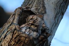 Sunset Screech Owl (bigolemrkanish) Tags: screech owl owls screechowl easternscreechowl long island longisland wildlife longislandwildlife