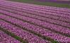 Holland (Rolandito.) Tags: europa europe holland nederland niederlande paysbas netherlands tulip flower field fields