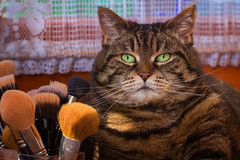 The lady and her beauty kit (FocusPocus Photography) Tags: cleo katze cat chat gato tier animal haustier pet pinsel brushes