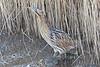 Bittern (drbut) Tags: bittern botaurusstellaris reeds reedbeds wetlands bird birds nature wildlife canonef500f4lisusm