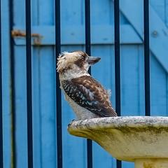 20180114-DSCF2044 (PM Clark) Tags: kookaburra xpro1 copacabana centralcoastnsw