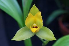 Lycaste cruenta (Lindl.) Lindl. - Kew Gardens (Ruud de Block) Tags: kewgardens ruuddeblock royalbotanicgardens orchidaceae lycastecruenta lycaste cruenta