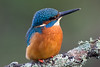Kingfisher (drbut) Tags: kingfisher alcedoatthis water rivers streams bird birds avian canonef500f4lisusm wetland