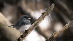 Stunning Slate Blue Dark Eyed Junco (rmikulec) Tags: darkeyedjunco dark eyed junco wild wildlife branch forest winter cold animal nature sony fe bokeh 100400mm