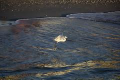 beach beauty (ucumari photography) Tags: ucumariphotography naples florida january 2018 egret animal bird coast sunset dsc6588