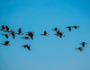 Canadian geese above the wetland (randyherring) Tags: brantacanadensis ca california canadagoose cosumnesriverpreserve elkgrove fall autumn bird flight geese nature outdoor recreational sky wetlands