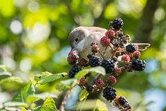Juvenile Whitethroat 500_2319.jpg (Mobile Lynn - Limited internet) Tags: whitethroat birds nature wild bird fauna sylviacommunis wildlife wiggonholt england unitedkingdom gb